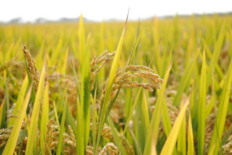 В Алматинской области намерены сократить посевы риса