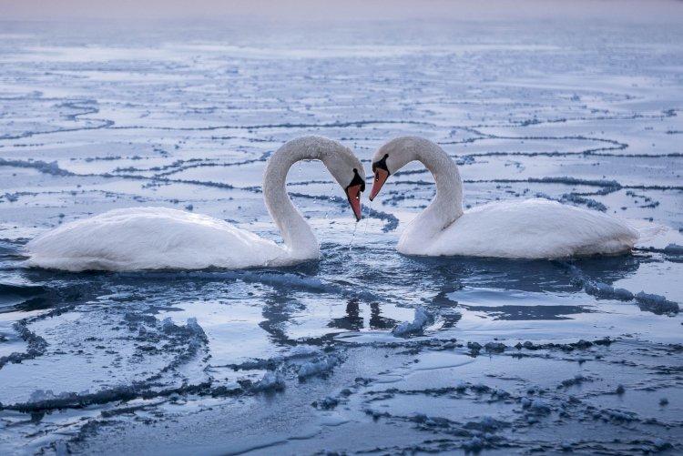Тысячи лебедей снял в Актау автор популярных роликов