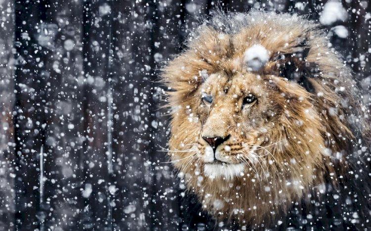 В поисках жилья: льву из Алматинской области нужен дом