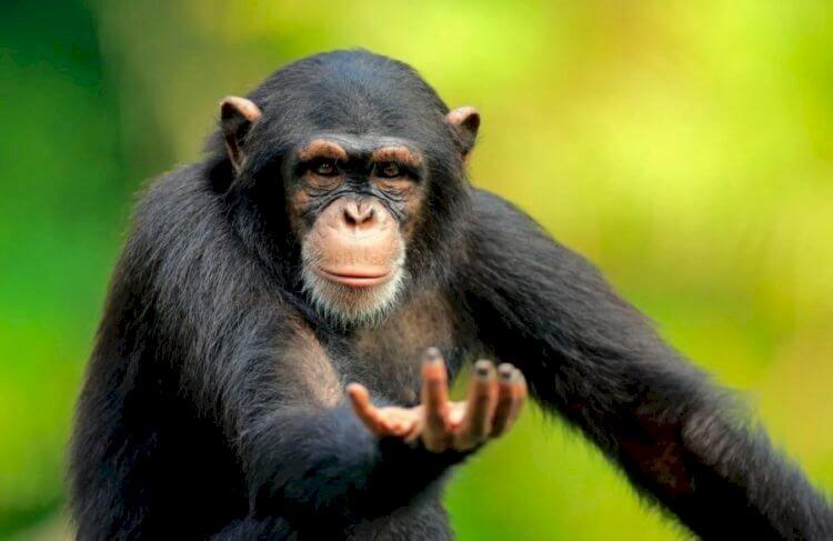 Один в один: Шимпанзе освоили Zoom