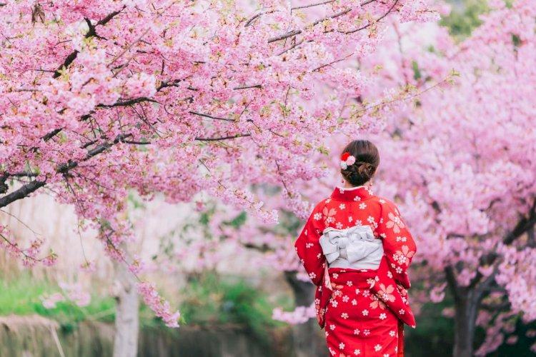 Раннее цветение сакуры наблюдают в Японии