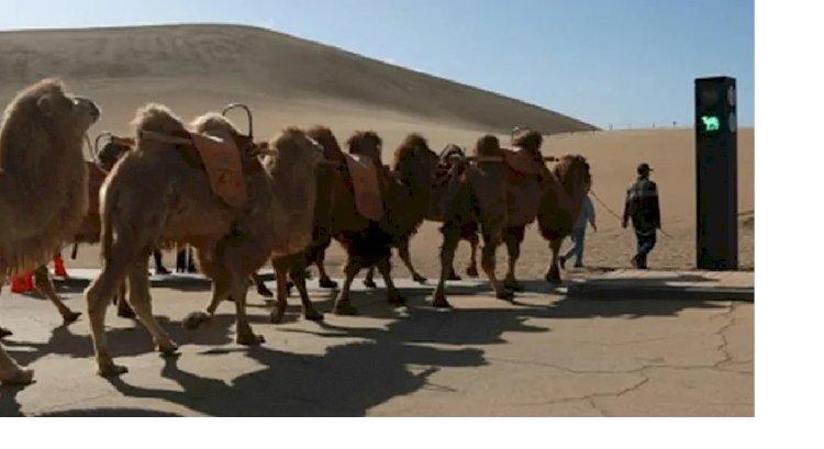 В Китае установили первый в мире светофор для верблюдов