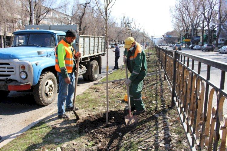 250 ясеней посадят на разделительной полосе по Абая в Алматы