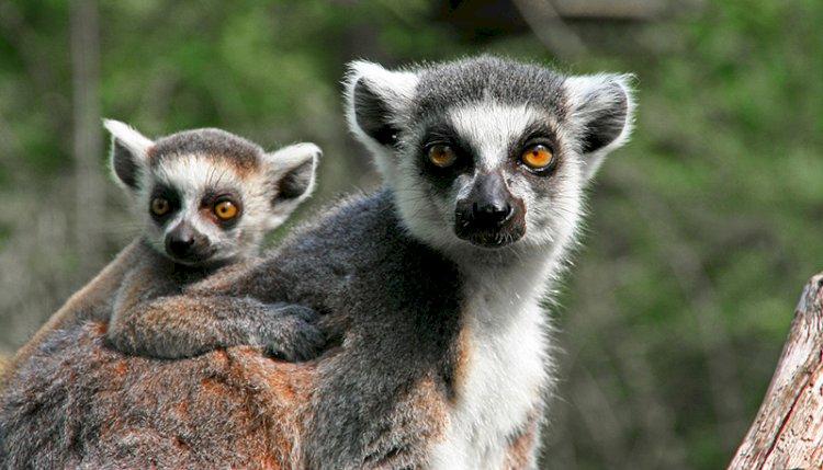 Четыре лемура родились в Алматинском зоопарке