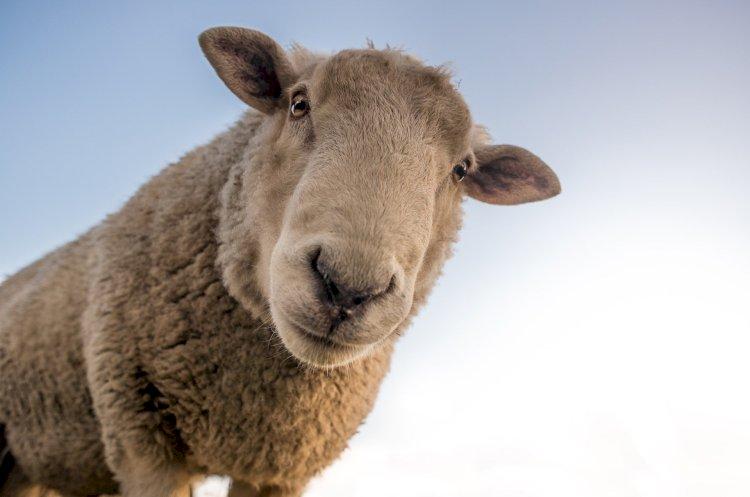 Вероятность полного запрета экспорта овец обсуждалась в Казахстане