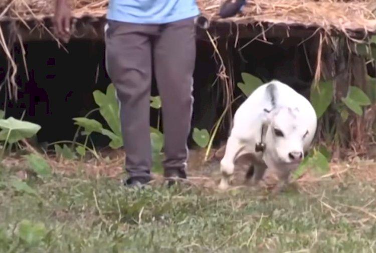 Необычная корова стала новой достопримечательностью Бангладеша