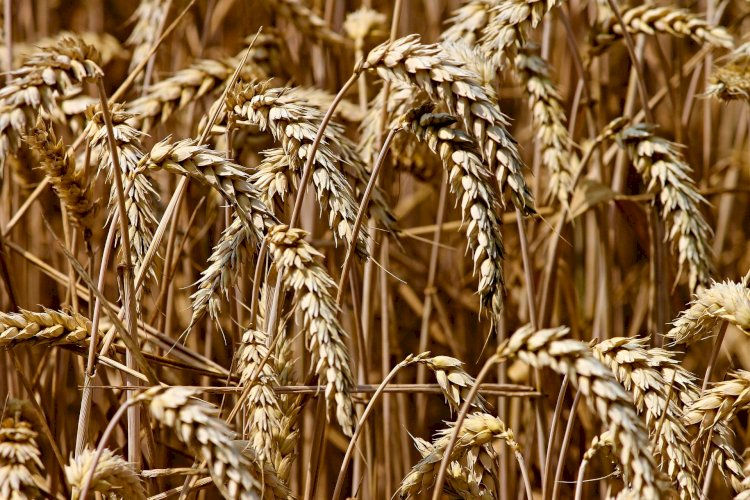 Около половины валюты за экспорт пшеницы Казахстану дает Узбекистан