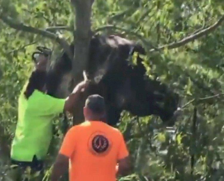 Застрявшую на дереве корову с трудом спустили на землю