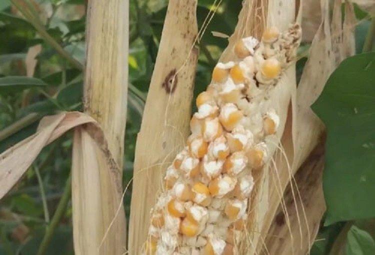 Из-за жары кукуруза превратилась в попкорн прямо в поле в Китае