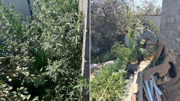 Плантацию марихуаны организовали у себя во дворе братья в Алматы