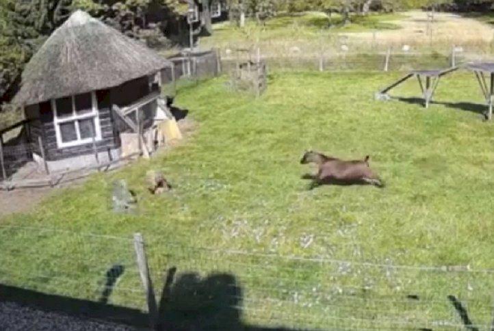 Петух и коза спасли от ястреба курицу – видео набрало миллионы просмотров